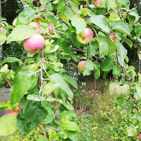 Kypsät omenat omenapuussa