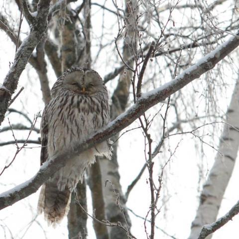 Helmi-maaliskuun vaihde on parasta aikaa pöllöilylle. Iltahämärässä pöllöjen huhuilut kuuluvat kauaksi. Tässä viirupöllö kotipihallamme muutaman vuoden takaa.